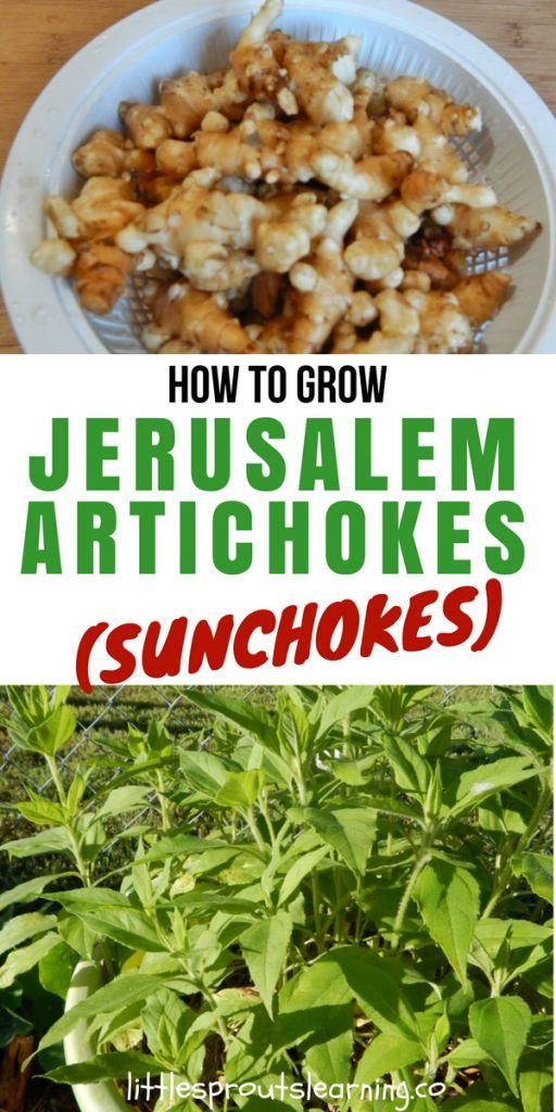 How to Grow Jerusalem Artichokes (Sunchokes)