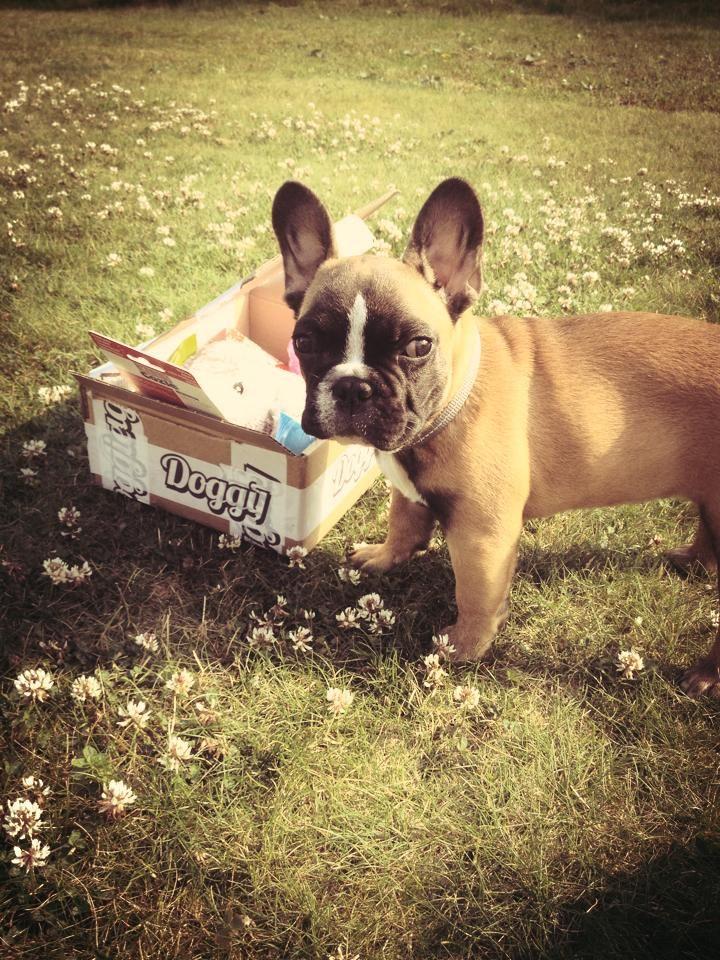 Varg - DoggieBag.no #DoggieBag #Hund #FranskBulldog #Bulldog