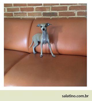 Italian baby girl Salatino #dog #salatino #clubesalatino #canil #perro #dogs #cute #love #nature #animales #dog #ilovemydog #ilovemypet #cute #galgos #greyhound #galgoespanhol #galgo