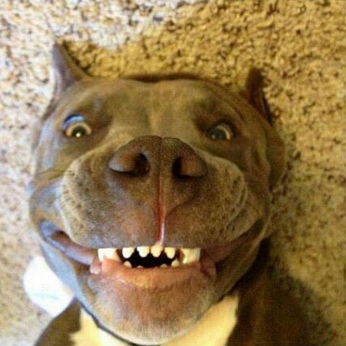 Priceless Sweet Pittie Smile!!!! I can't resist them :)