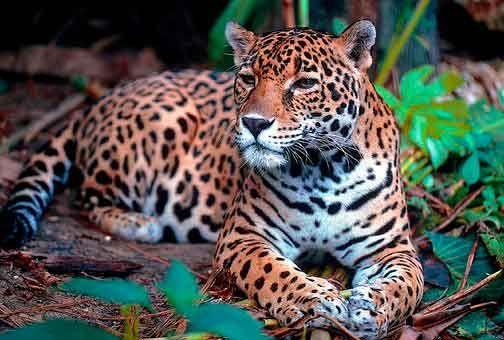 Los jaguares también conocidos como Yaguar o Yaguareté, tigre mariposo, tigre americano, es un felino americano. Cuyo nombre científico es Panthera onca. Del  filo Chordata, orden Carnivora, Suborden Feliformia, de la familia Felidae y Subfamilia Pantherinae, su género es Panthera. Este felino es el tercero más grande del mundo, después del león y el tigre y es el único que se encuentra en América..#AnimalesSalvajes #Animales #Naturaleza