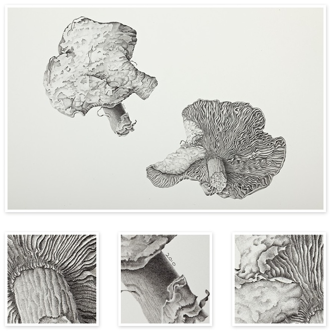 Agaric (Wild Fungi) | Sharon Field | Botanical Artist Study , Inspiration for Botanical Sketchbooks for Art Students at CAPI::: Create Art Portfolio Ideas milliande.com, Art School Portfolio Work, , Botanical, Flowers, Plants, Leaves,Stem Seed, Nature, Sketching, Herbarium