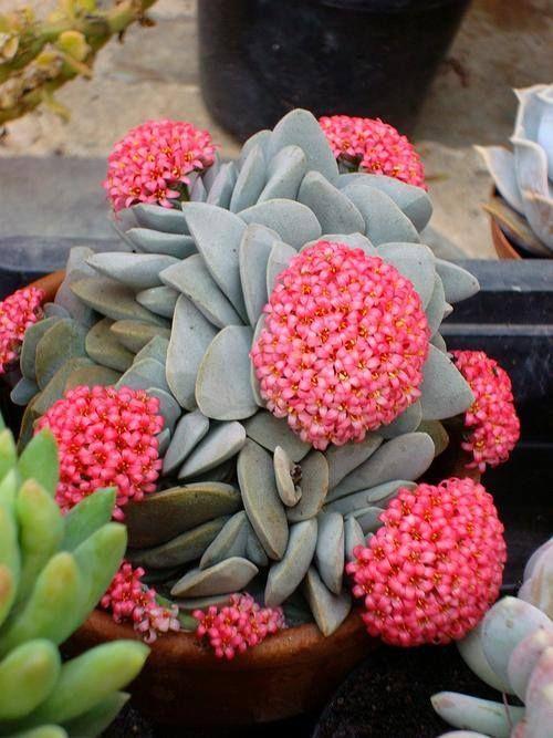 #Succulents - crassula Morgans Beauty http://www.roanokemyhomesweethome.com                                                                                                                                                      More