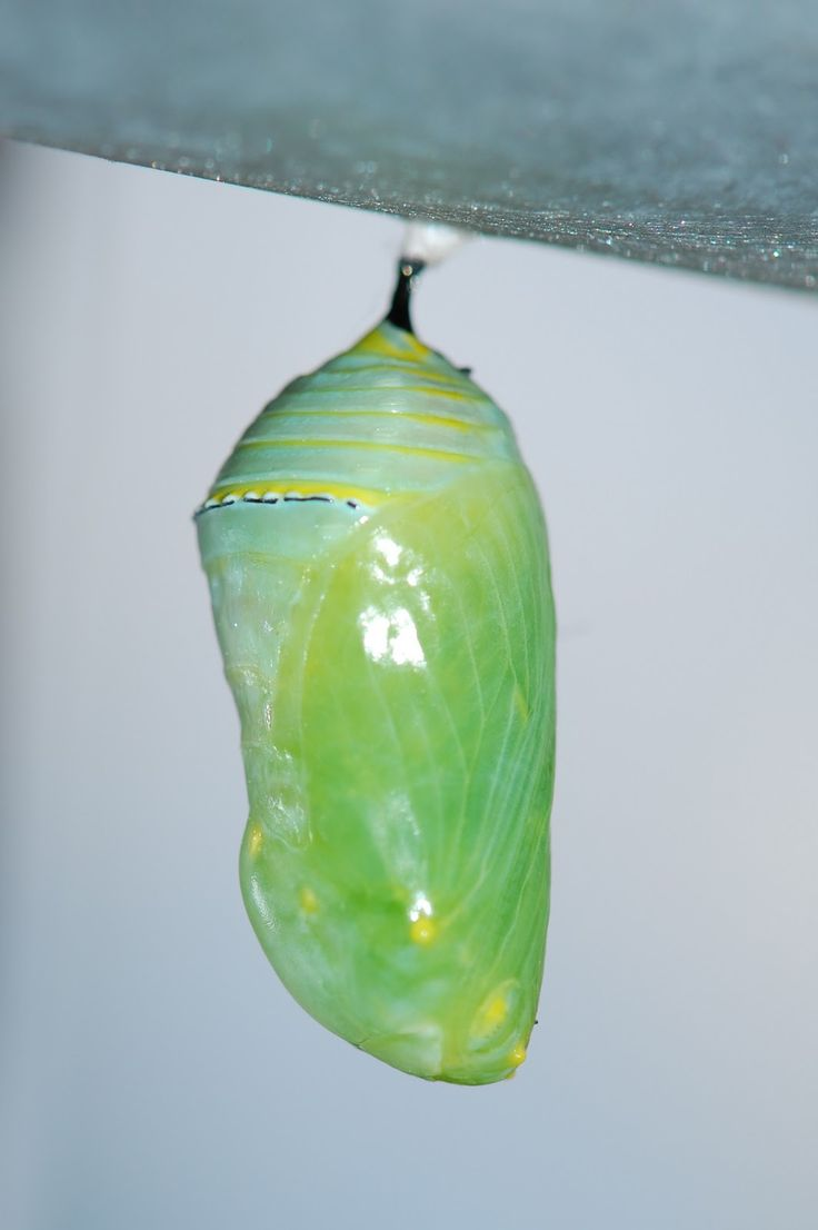 Sold custom made butterfly mosaic table top for mary ann in texas - Image Result For Monarch Chrysalis On Milkweed