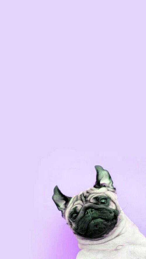 Suddenly, a pug have just appeared on this wallpaper
