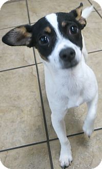 Chihuahua/Jack Russell Terrier Mix Puppy for adoption in Canon City, Colorado - Willie