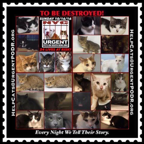 "TO BE DESTROYED 10/16/16 - - Info  Please share View tonight's list here: http://nyccats.urgentpodr.org/tbd-cats-page/  The shelter closes at 8pm. Go to the ACC website( http:/www.nycacc.org/PublicAtRisk.htm) ASAP to adopt a PUBLIC LIST cat (noted with a ""P"" on their profile) and/or … CLICK HERE FOR ADDITIONAL INF...-  Click for info & Current Status: http://nyccats.urgentpodr.org/to-be-destroyed-091716/"
