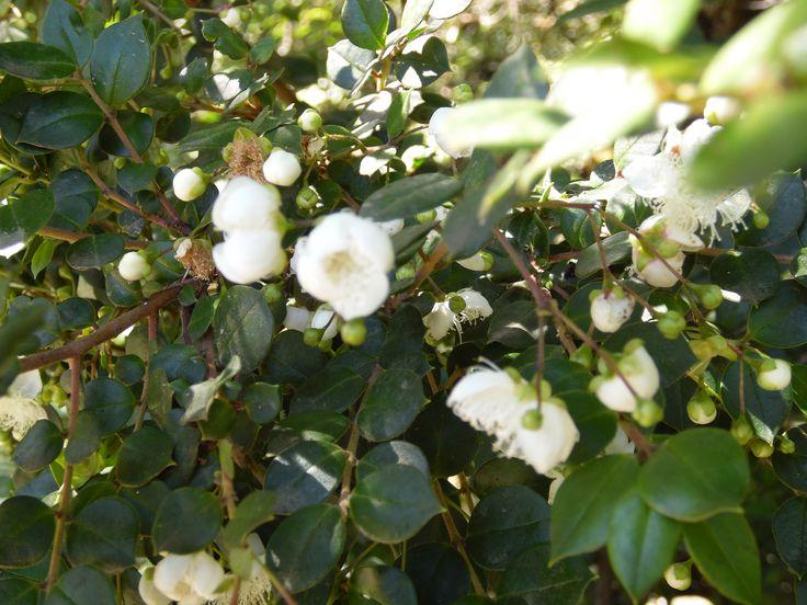 flores de arrayán, bello árbol.