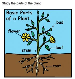 (PDF) Foliar anatomical study of Boerhavia diffusa L.: a ...
