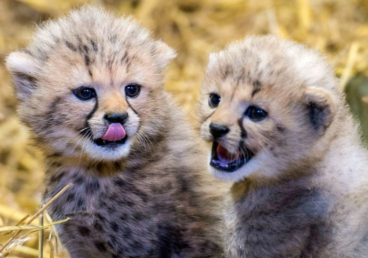 Chirpin' Cheetahs!  Twin Cubs Born at Longleat Safari