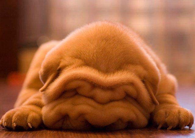 shar pei pup. So many wrinkles!