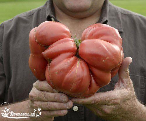 Как вырастить крупные помидоры    У меня много лет не получалось вырастить крупные помидоры, а так хотелось. Очень мы любим сорвать огромный сочный помидор с кустика и с солью да с черным хлебушком!!! А какой сладкий да сочный, не в какое сравнение с магазинными помидорами не идет. Много прочитала литературы и вот уже 5 лет я наслаждаюсь крупными и солидными помидорами.    В этом году помидоры были по 720-800 грамм. Самые главные условия для выращивания крупных помидор:    1. Чтобы получить…