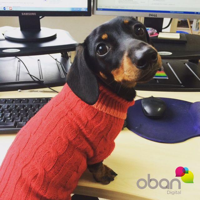 Peggy rocking the Argyle onesie #dachshund   #OfficeDog