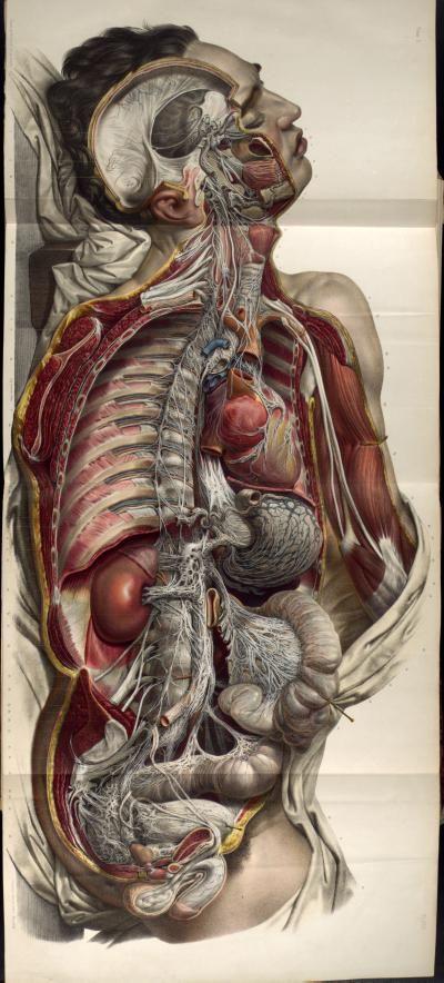 Nicolas Henri Jacob, autonomic nerves of the body, traité complet de l'anatomie de l'homme, 1831-1854