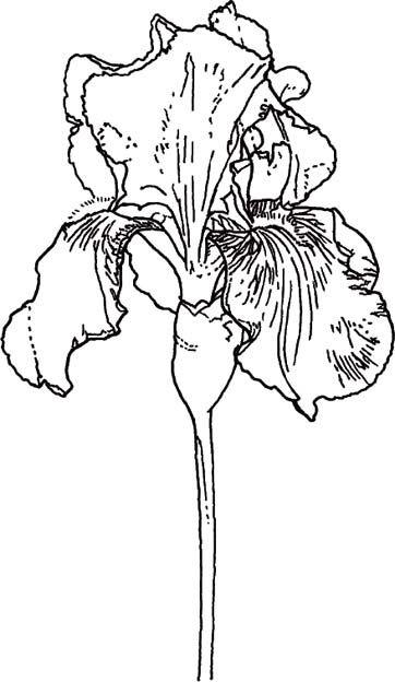 Line Drawing Iris Flower : Best line drawings of irises images on pinterest