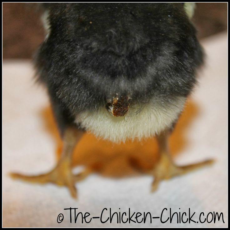 Baby chick anatomy