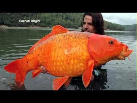 Giant 15 inch long goldfish caught in lake 1 16 2013 for Big gold fish