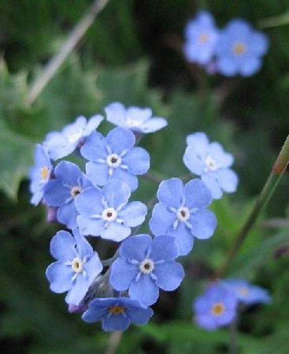 Fleur facile à cultiver, le myosotis fleurit en abondance tout au long du printemps. Cette jolie petite fleur bleue est du plus bel effet dans les massifs, les bordures et les rocailles, mais aussi dans les bouquets ou en jardinière sur les balcons. par Audrey