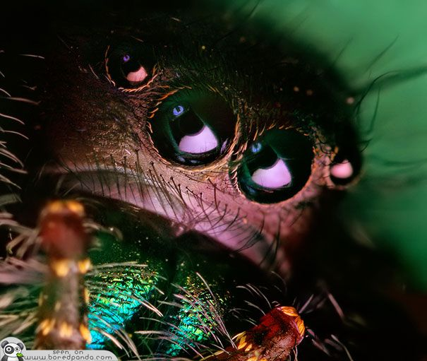 The Most Beautiful Spider in the World - Jumping Spider
