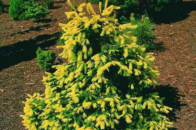 Top 10 dwarf conifers for small space gardening norway for Small garden trees evergreen