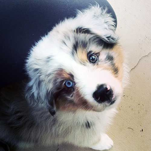 The Aussie Weekly #108 — The Weekly Special Feature for Australian Shepherd Lovers — Photo: Sarah Hicks, Aussie: Beau