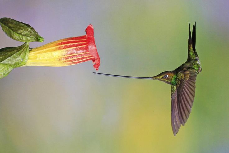 The Sword-billed Hummingbird is the only bird species with a bill length that exceeds the body length. Because of this, it preens itself with its feet, and when perched, holds its bill quite upright presumably because of balance issues stemming from this long and relatively heavy structure. : Awwducational
