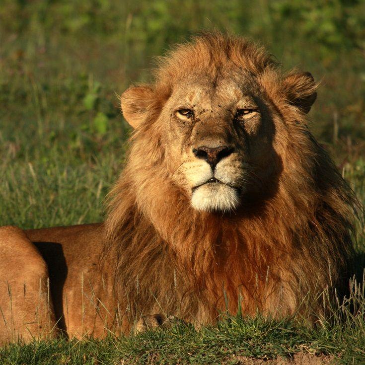 Tanzania safaris promise beautiful wildlife encounters, including the mighty Lion