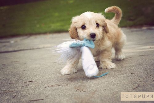 : Hello Sweetie, Cute Puppies, Little Puppies, Cutest Dogs, Puppies Eye, New Puppies, Baby Animal, Baby Dogs, Fluffy Puppies