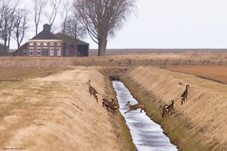 Slootje springen in het Groninger Oldambt. De reeën zijn hier in het open gebied wat makkelijker te spotten dan elders, zeker als ze in de winter zelfs midden op de dag op zoek gaan naar voedsel. Echter als ze still liggen in een kuil of greppel kun je ze nog steeds gemakkelijk over het hoofd zien. Net boven de rechter ree zit een Ruigppootbuizerd in het land. Een bij vogelaars graag geziene wintergast. Door communitylid gvdhorn - NG FotoCommunity ©