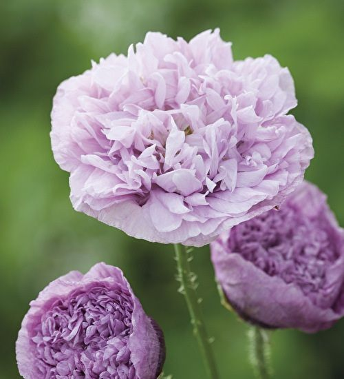Papaver somniferum 'Candy Floss' is one of my favourite recent discoveries, an opium poppy bred as a cut flower so this one holds on to its petals even in the vase. For the poppy lover like me this is an unmissable plant.