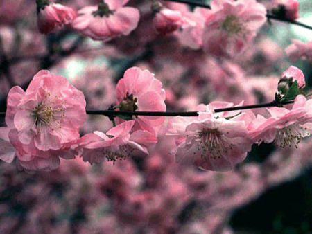 A babarózsa május elején nyílik, dús, rózsaszín virágai igazán szép látványt nyújtanak. Napos fekvést és mélyrétegű talajt kíván. Ha megfelelő gondozást kap, évről-évre gazdag virágzattal örvendezteti meg gazdáját.