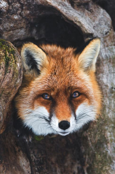 Cute pic of Lucky the vixen sitting in a tree.