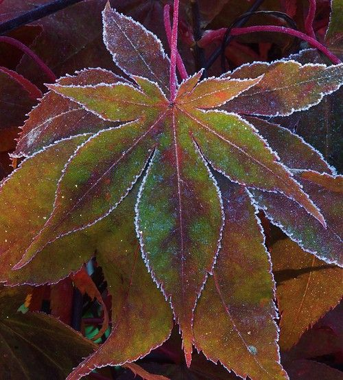 Japanese maple leaf etched in frost