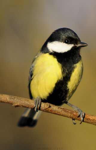Great tit (Parus major) - by Thor Hakonsen