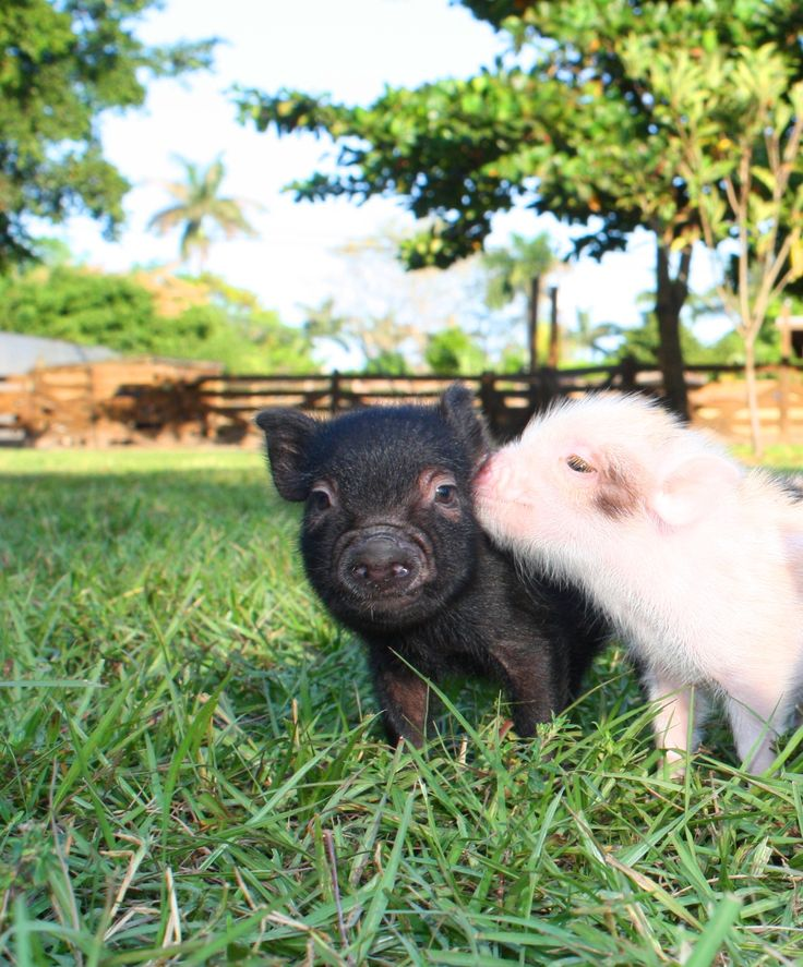 Oink, Oink, Mini Pigs!  How cute... Christmas Present Please!!