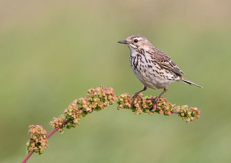 Meadow Pipit by Lea Roberts, via 500px.