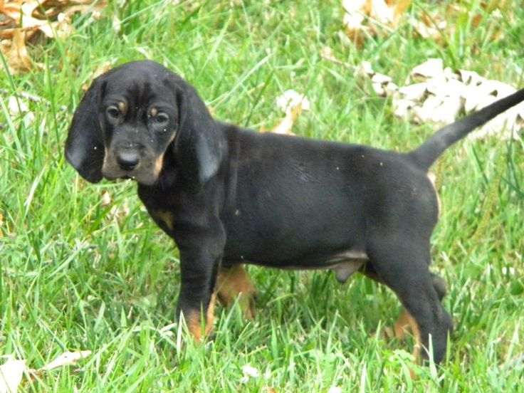 Black And Tan Coonhound Photo Big Game Black And Tan