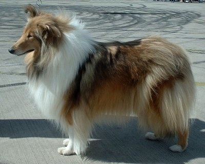 "The Rough Collie comes in four basic coat colors: sable and white, where the ""Sable"" ranges from pale tan to a golden mahogany; white; tricolor, which is primarily black edged in tan; and blue merle, which is a mottled gray. All come with white chest, legs, and tail tip and many have white blazes on their faces"