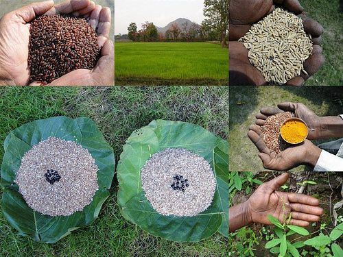 Validated and Potential Medicinal Rice Formulations for Hypertension (हाई ब्लड प्रेशर) with Diabetes mellitus Type 2 (मधुमेह) Complications (TH Group-312 special) from Pankaj Oudhia's Medicinal Plant Database