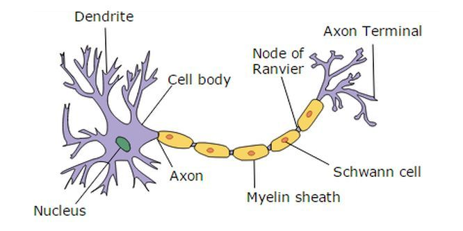 In 2013, University at Buffalo researchers published a paper showing how slowing down protein synthesis can improve myelin production and repair in some demyelinating diseases, such as Charcot-Marie-Tooth disease, (CMT). The research held promise for other misfolded protein diseases, such as Alzheimer's, ...