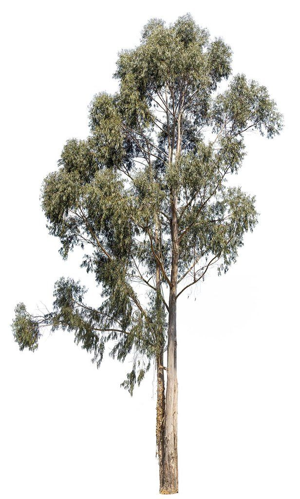 Eucalyptus Globulus Tree Photoshop Australian Trees Tree Textures