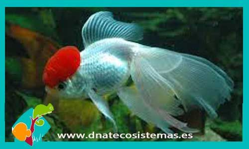 oranda-boina-roja-10-12-cm-venta-de-peces-online-tienda-de-peces-online
