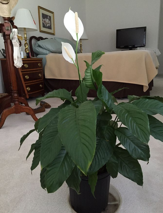 care for peace lilies - Peace Plant Care