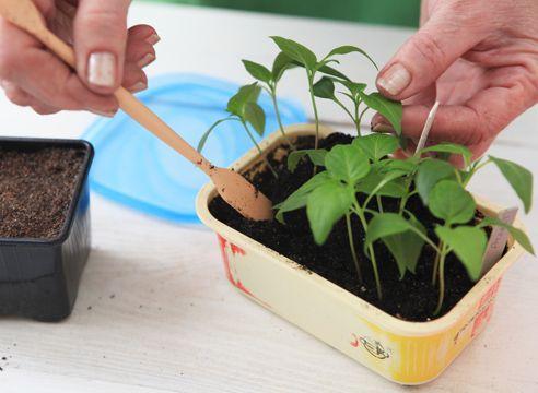 Выращивание рассады перца, мастер-класс. Выращивание рассады перца имеет свои особенности. При ошибках с поливом, резких колебаниях температуры или неудачной пересадке стебли растений грубеют, снижается их потенциальная урожайность. Как же вырастить рассаду перца правильно?