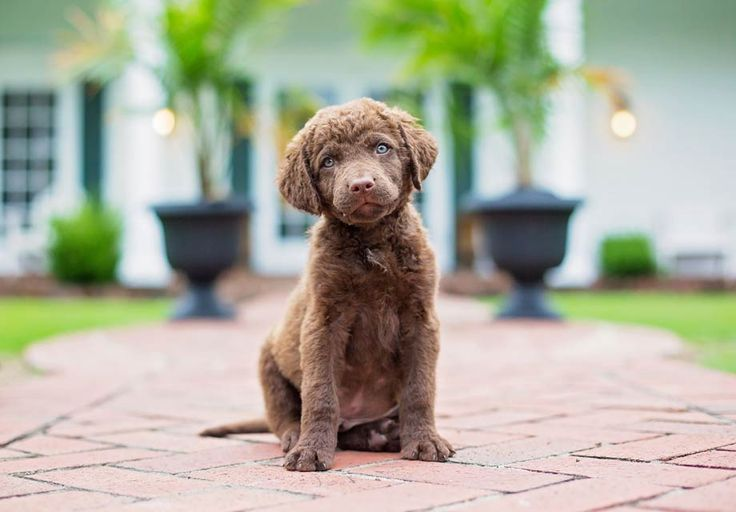 Find Chesapeake Bay Retriever Puppies in your area and helpful tips and info. All purebred Chesapeake Bay Retriever puppies are from AKC registered parents.