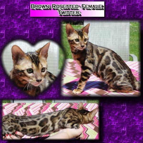 Available Bengalglitz Bengal Kittens In Ohio Bengal Kitten Kittens Bengal Cat
