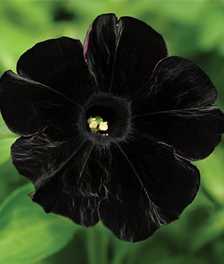 Black cat petunia Black cat petunia Black cat petunia=I want a shit-ton of these surrounding my future home!!!
