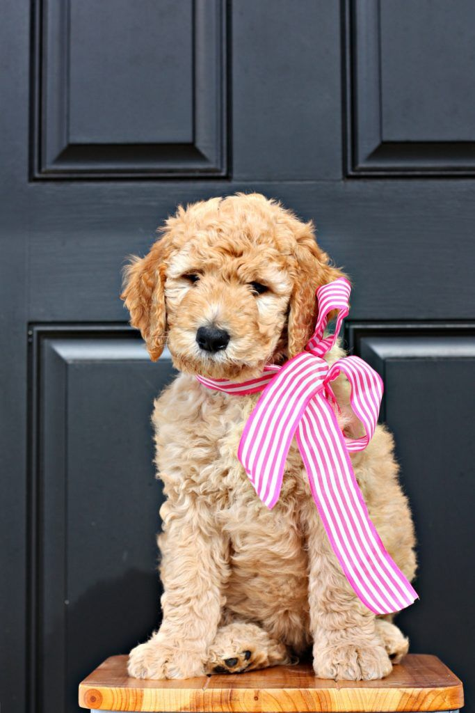 Goldendoodle Fb1
