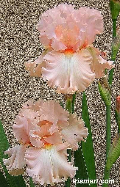 kitty kay iris - tall bearded iris for sale reblommer irises on sale