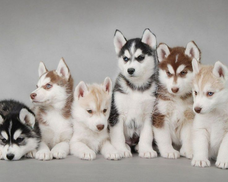 My new fav six pack... get it? There's 6 Huskies.... and they're in a pack... Awwww